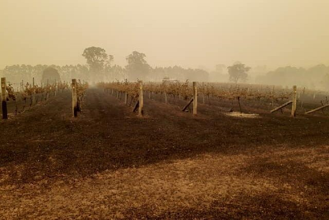 Wine industry's 'black summer' as cost of smoke taint, burnt vineyards, and lost sales add up